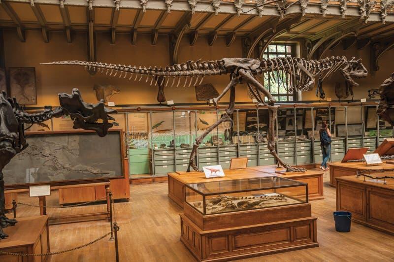 Fósil del dinosaurio carnívoro en la galería de la paleontología y de la anatomía comparativa en París fotos de archivo