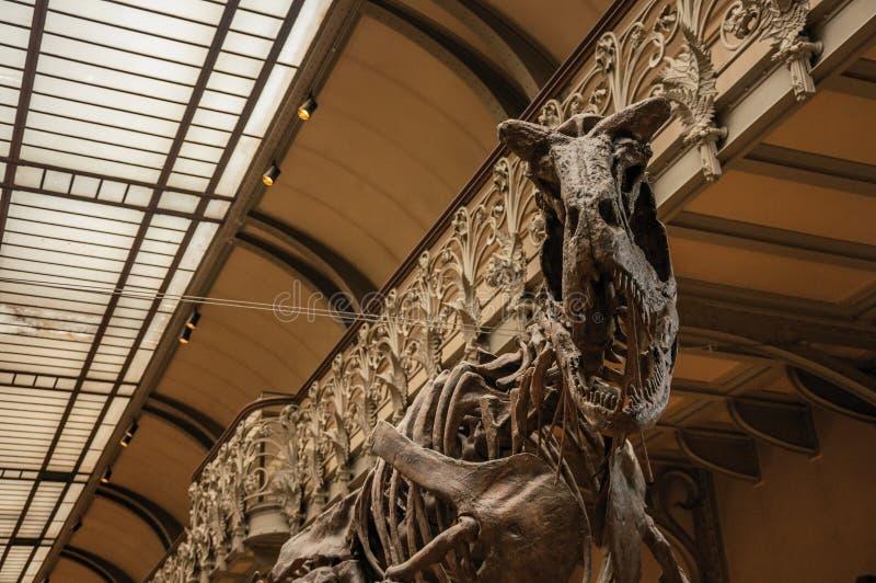 Fósil del dinosaurio carnívoro en la galería de la paleontología y de la anatomía comparativa en París foto de archivo