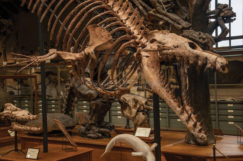 Fósil del dinosaurio carnívoro en la galería de la paleontología y de la anatomía comparativa en París foto de archivo libre de regalías