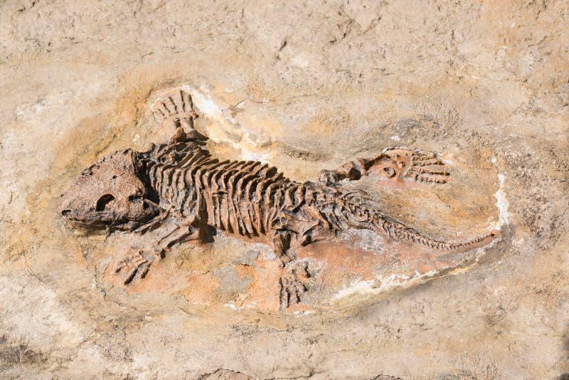 Fósil del esqueleto prehistórico del lagarto en la roca fotografía de archivo libre de regalías