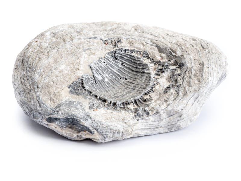 Fósil del período cretáceo fotografía de archivo libre de regalías