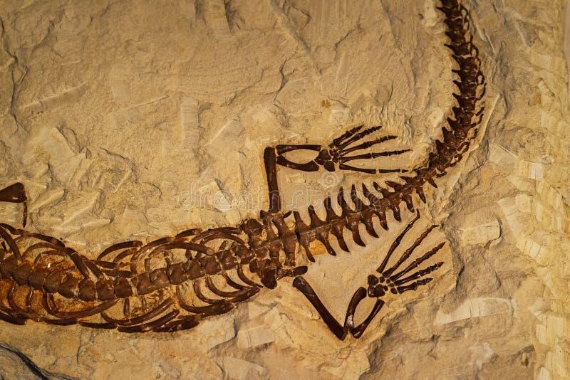 Fósil del reptil antiguo en roca imagen de archivo libre de regalías