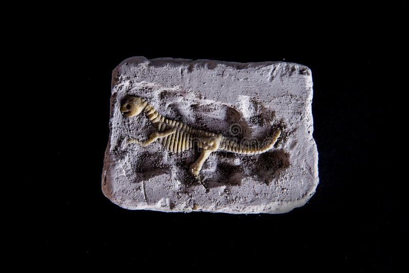 Fósil del ` s del dinosaurio en fondo negro fotos de archivo libres de regalías
