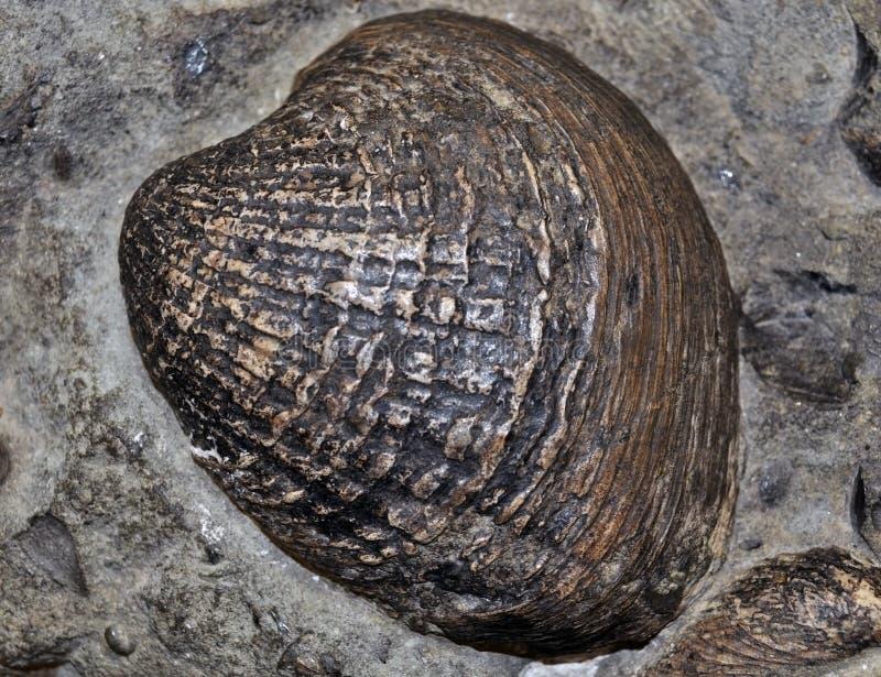 Fósil del shell fotos de archivo libres de regalías