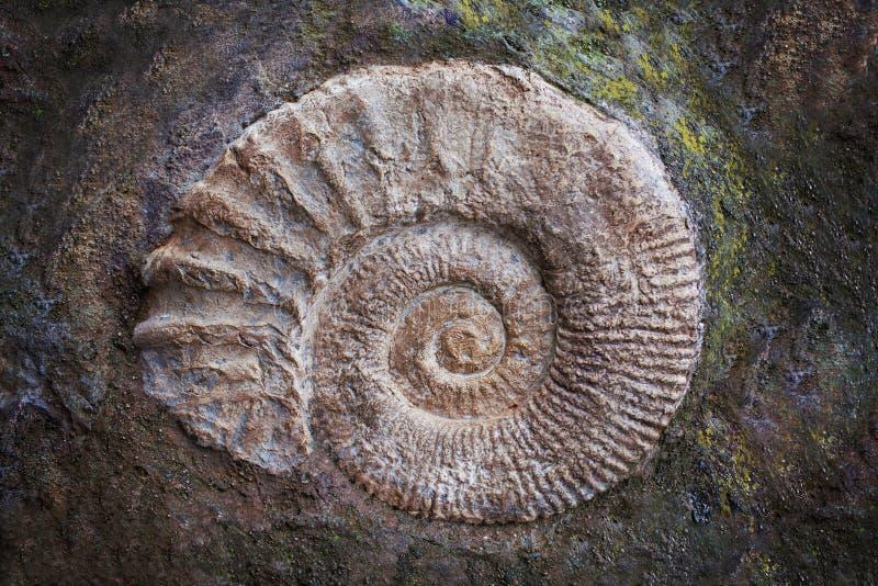 Fósil grande de la amonita, era geológica Arqueología y concepto de la paleontología fotos de archivo libres de regalías