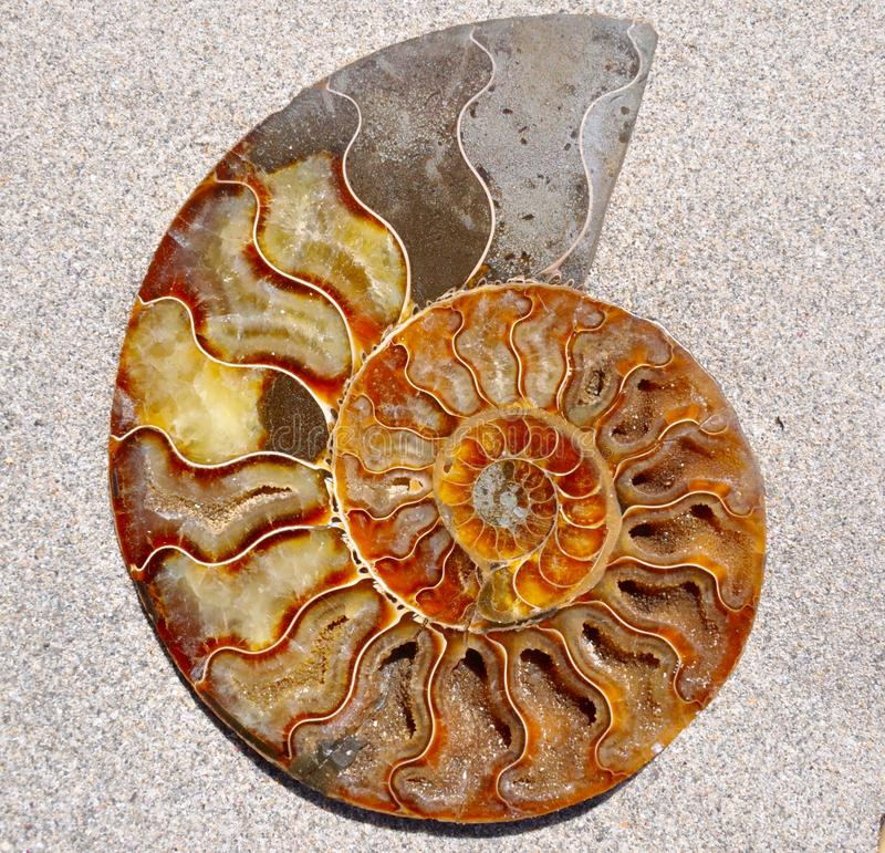 Fósil Shell de la amonita imagen de archivo