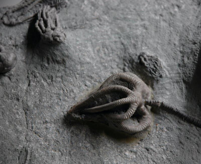 Fósiles de Crinoid imagen de archivo