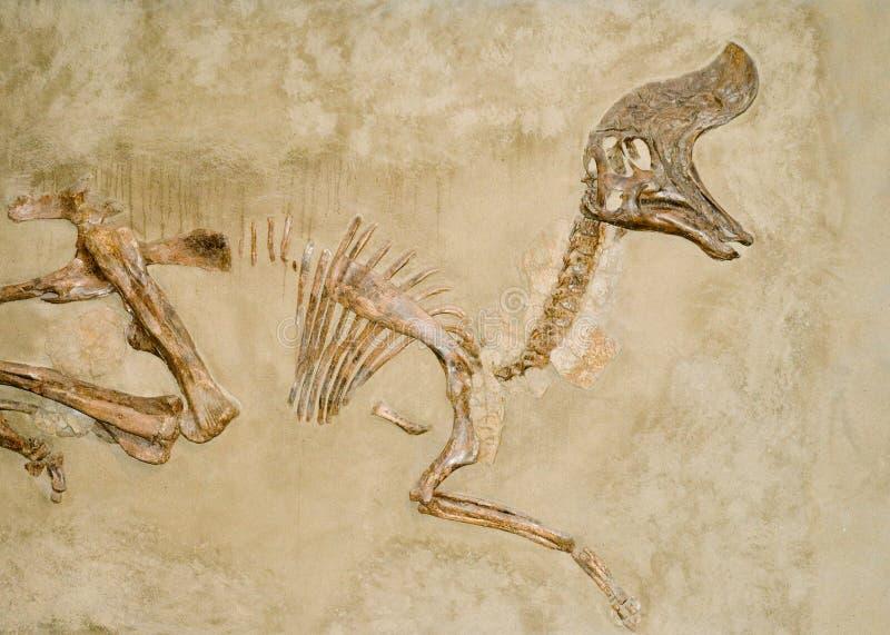 Fósiles de dinosaurio fotos de archivo
