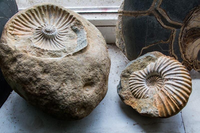 Fósiles de dinosaurio de excavación fotos de archivo