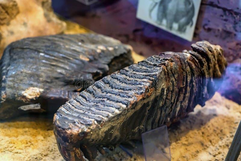 Fósiles de dinosaurio excavados en museo imágenes de archivo libres de regalías