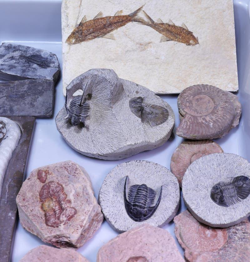 Fósiles de la paleontología, adobe rgb imagen de archivo