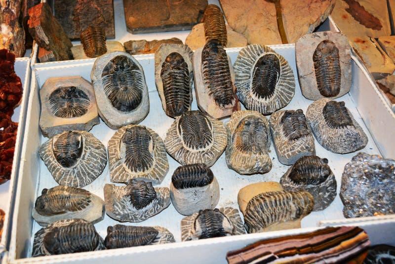 Fósiles de Trilobite imágenes de archivo libres de regalías