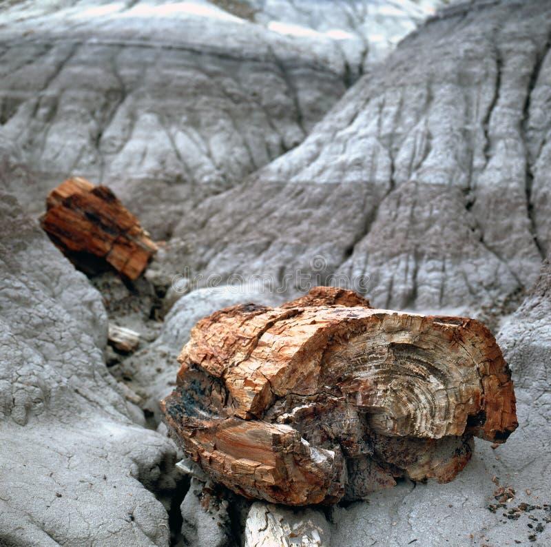 Fósseis da madeira Petrified fotos de stock royalty free