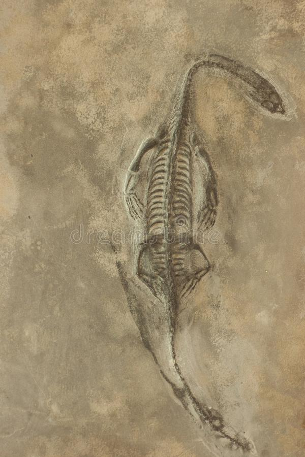 Fósseis de dinossauro no fundo da pedra da areia foto de stock