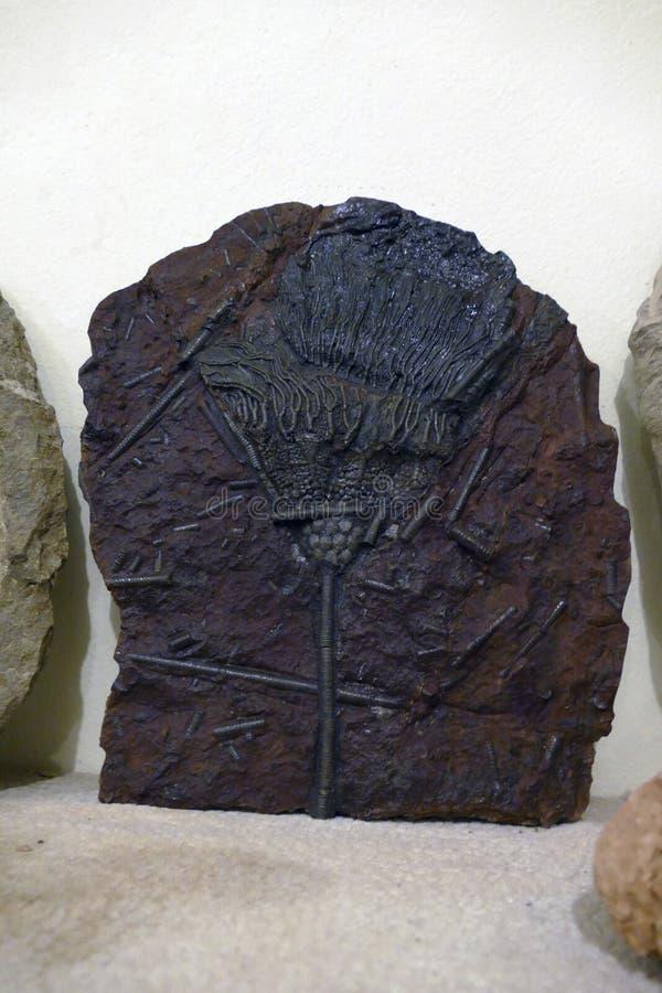 Fósseis que são centenas de anos de milhões velhos imagens de stock