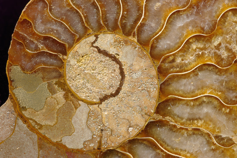 Fóssil da amonite fotos de stock