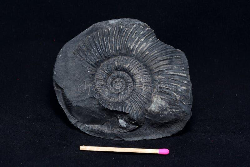 Fóssil da amonite fotografia de stock
