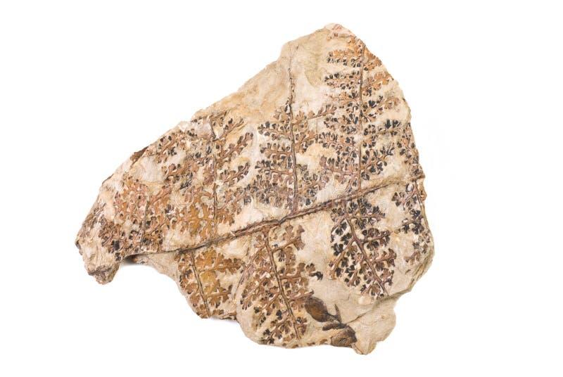 Fóssil da planta fotografia de stock royalty free