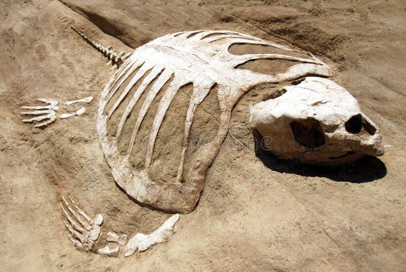 Fóssil da tartaruga fotografia de stock royalty free