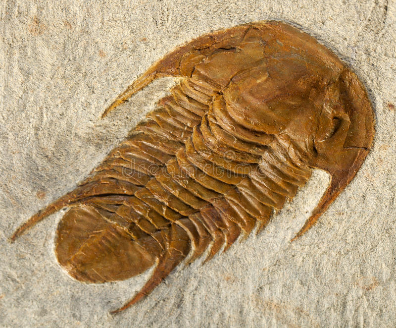 Fóssil de Trilobite fotografia de stock royalty free
