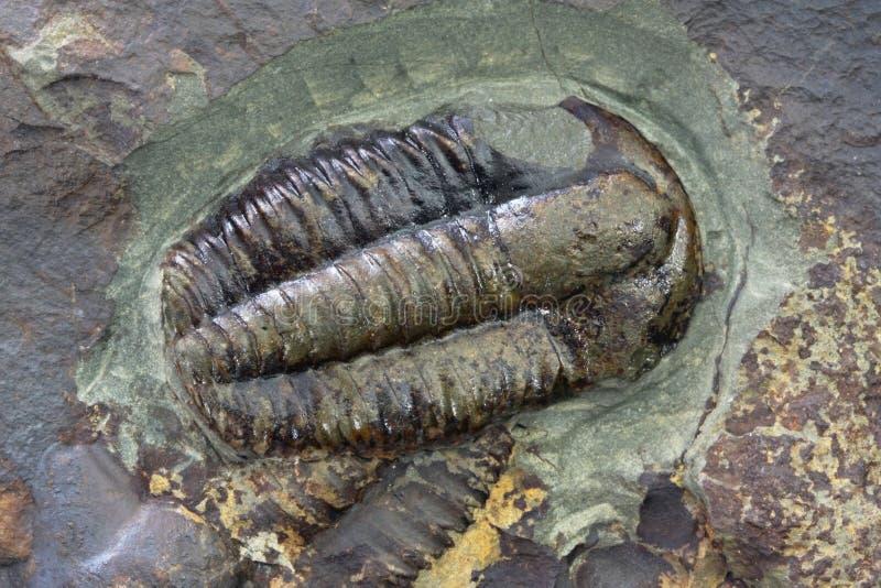 Fóssil de Trilobite fotos de stock royalty free