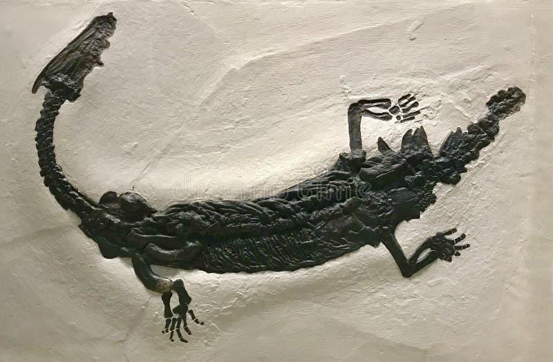 Fóssil de um dinossauro pequeno imagem de stock royalty free