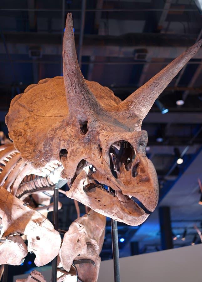 Fóssil do Stegosaurus imagem de stock royalty free