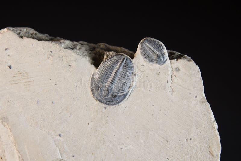 Fóssil na rocha imagens de stock royalty free