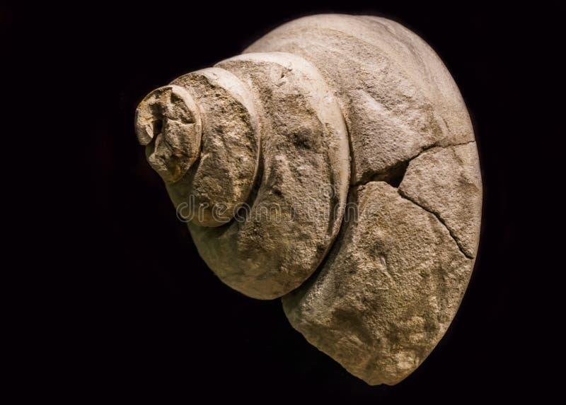 Fóssil velho de um escudo pré-histórico do caracol de água, pleurotomania um specie extinto, isolado em um fundo preto fotos de stock royalty free
