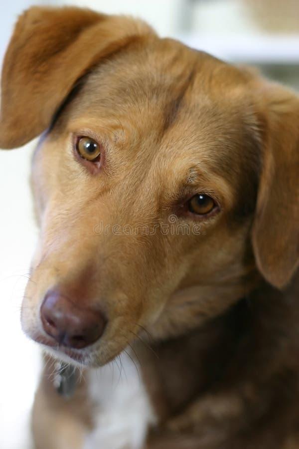 föda upp den blandade bruna gulliga hunden royaltyfri foto