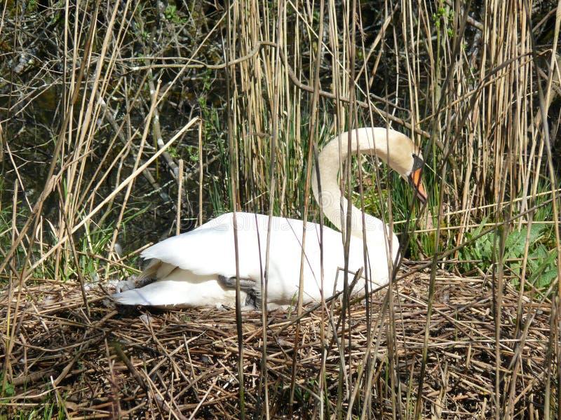 Föda upp den vita svanen royaltyfria foton