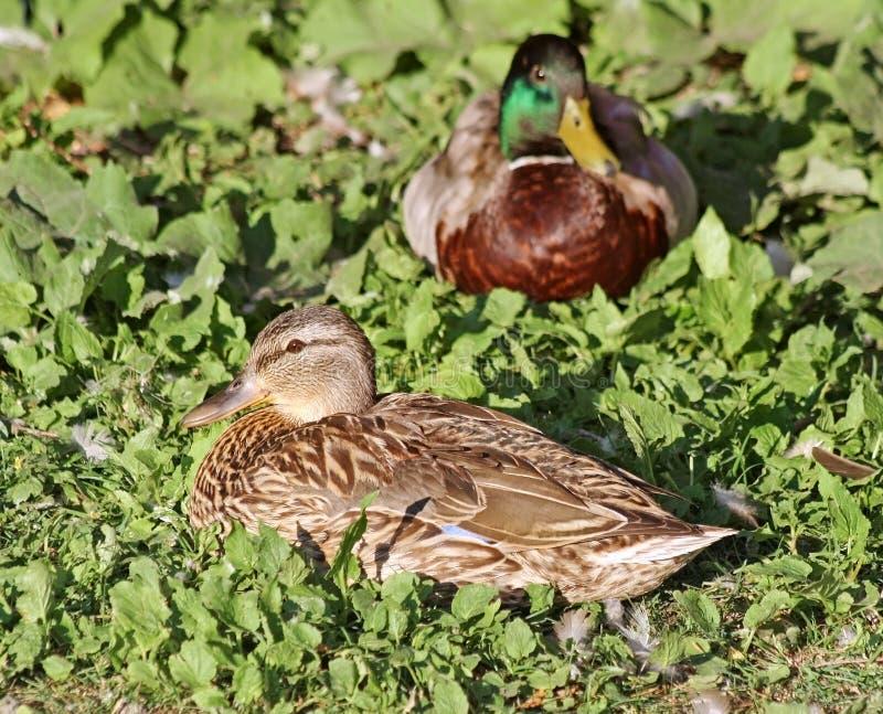 Föda upp par av gräsandet duckar att vila på gräs Kvinnlig i förgrund royaltyfri fotografi