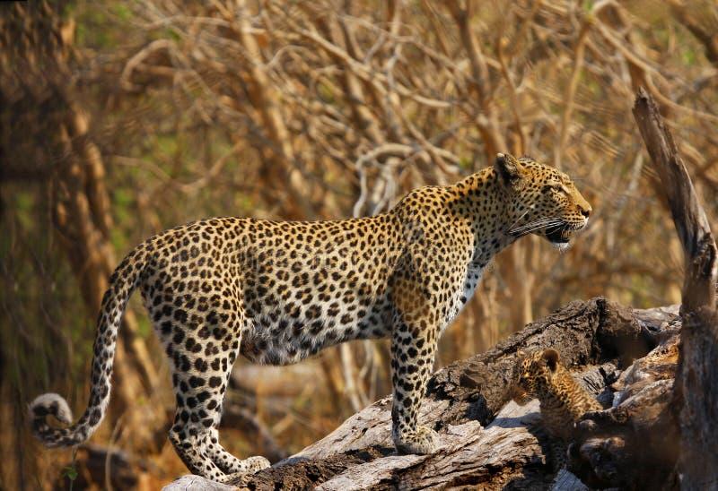 född ny gröngölingleopard royaltyfri fotografi