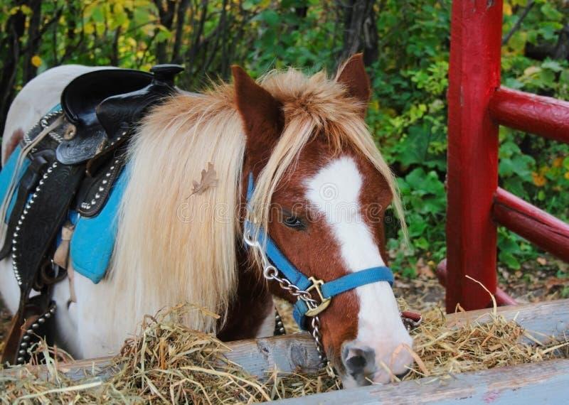 födelsedag henne ponny royaltyfria bilder