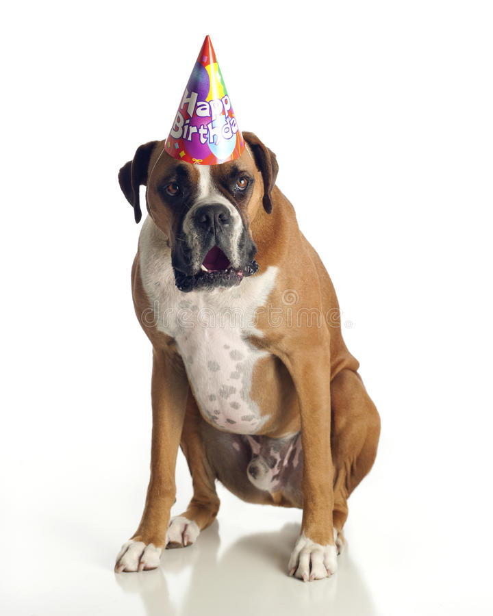 födelsedagboxarehund arkivfoton
