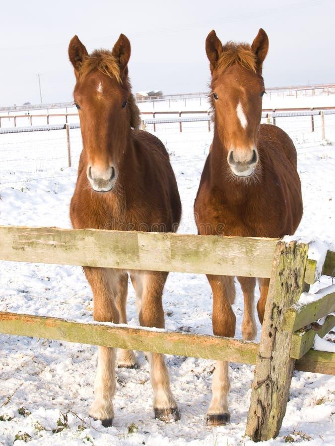 Föl i snowen royaltyfria bilder
