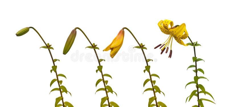 Följden av blommande liljor för blommaasiatguling royaltyfri bild