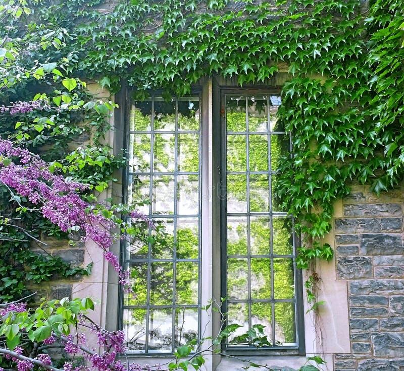 Fönster av gammal tegelstenbyggnad som täckas av den gröna växten royaltyfri fotografi