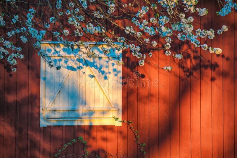 Fönster med vita slutare och härliga blommande blommor mot en röd trävägg fotografering för bildbyråer
