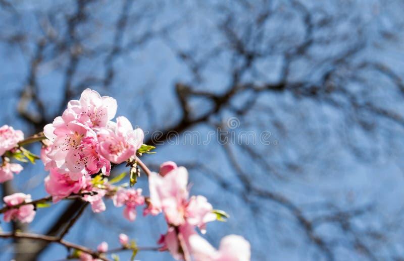 Förädlad persikablomma arkivfoton