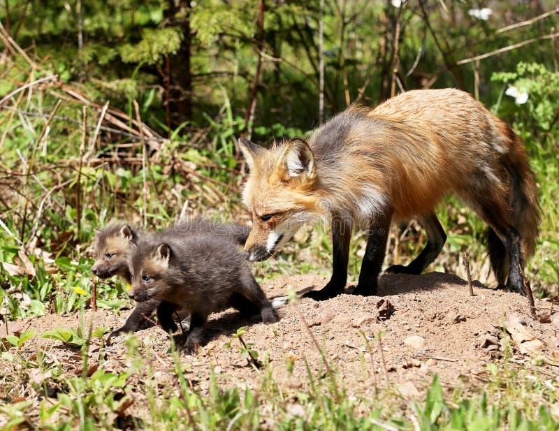 Förälder för röd räv med satser arkivbild