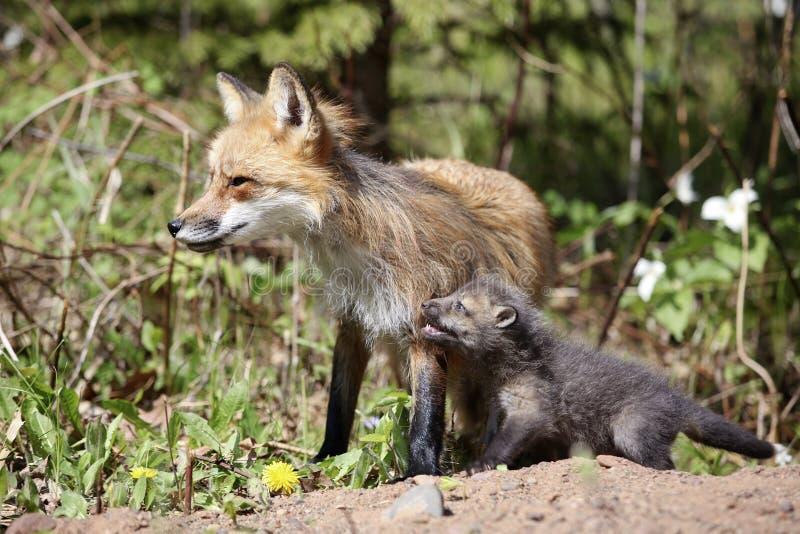 Förälder för röd räv med satser arkivfoton