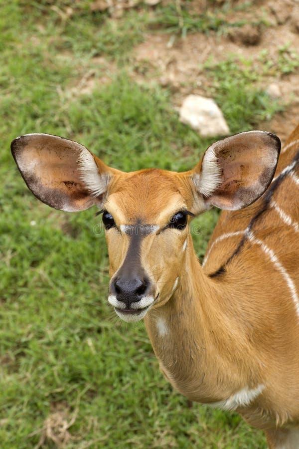 föräldralös whitetail för hjortar fotografering för bildbyråer