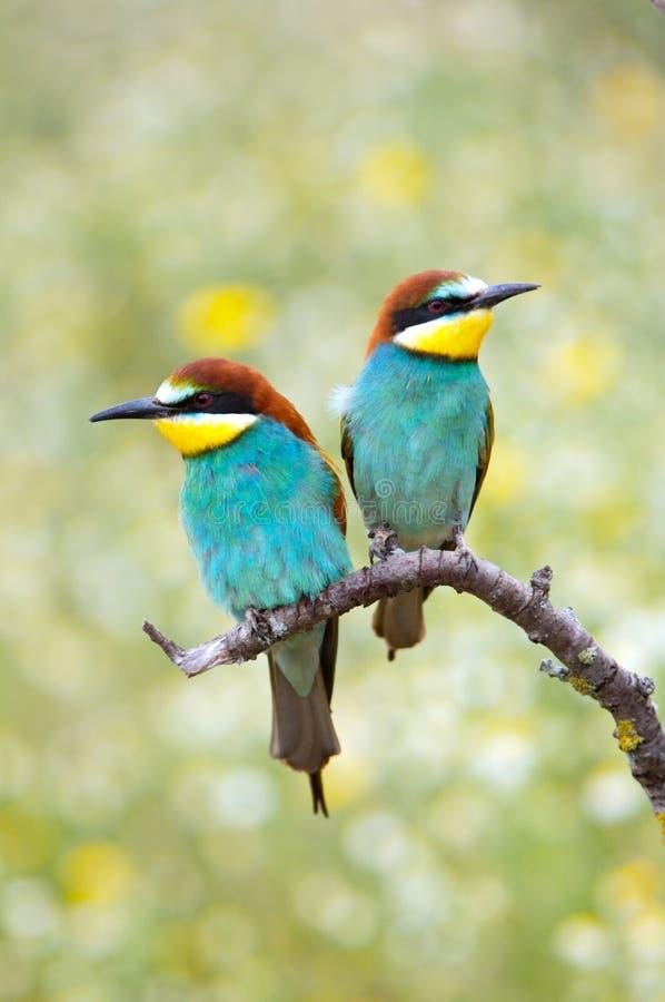 förälskade fåglar arkivbild