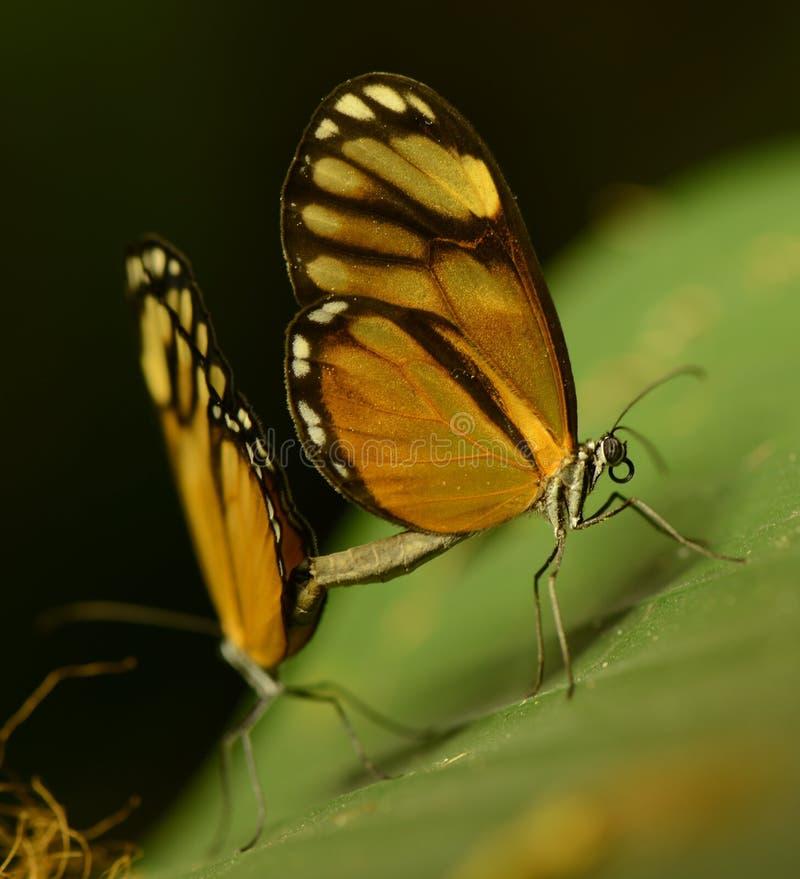 Förälskade fjärilar arkivbilder