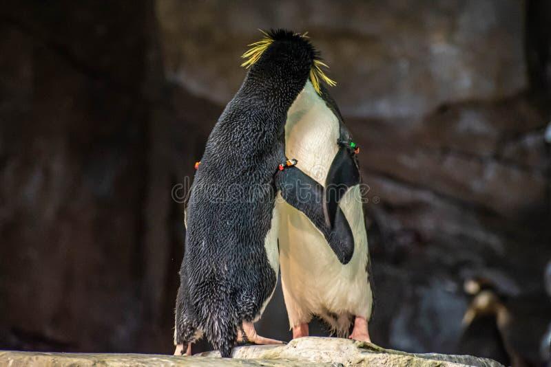 Förälskade pingvin som spelar med deras hackor på Seaworld arkivfoto