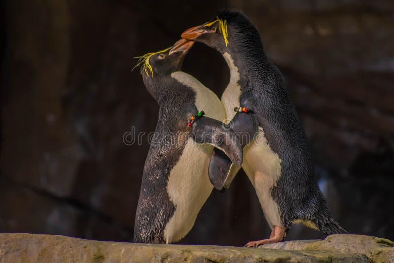 Förälskade pingvin som spelar med deras hackor på Seaworld 2 royaltyfria bilder
