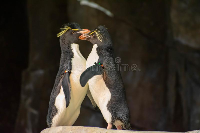 Förälskade pingvin som spelar med deras hackor på Seaworld 4 arkivbilder