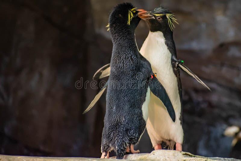 Förälskade pingvin som spelar med deras hackor på Seaworld 5 royaltyfri fotografi