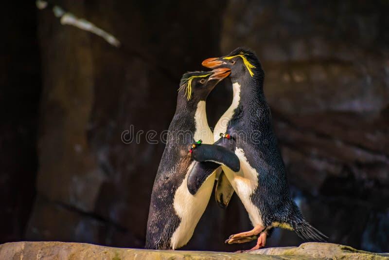 Förälskade pingvin som spelar med deras hackor på Seaworld 6 arkivbilder